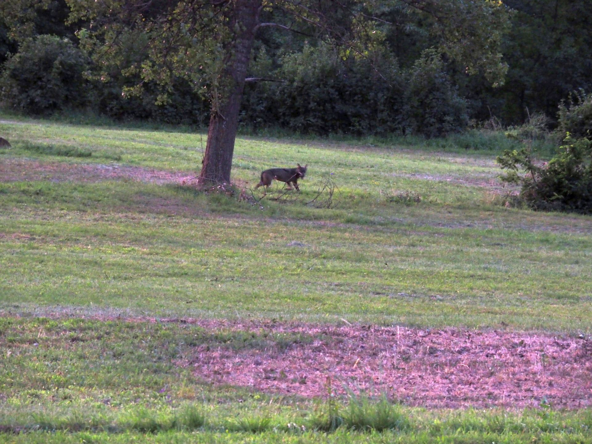 La Guida - Avvistato un lupo a Vinadio