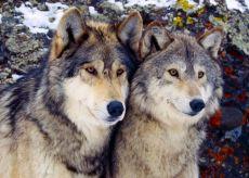 """La Guida - """"L'uomo non rientra nelle strategìe di caccia dei lupi"""""""