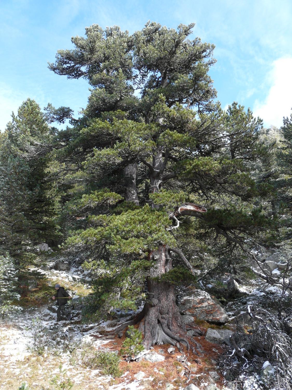 La Guida - Un pino cembro del Bosco dell'Alevè sarà albero monumentale?
