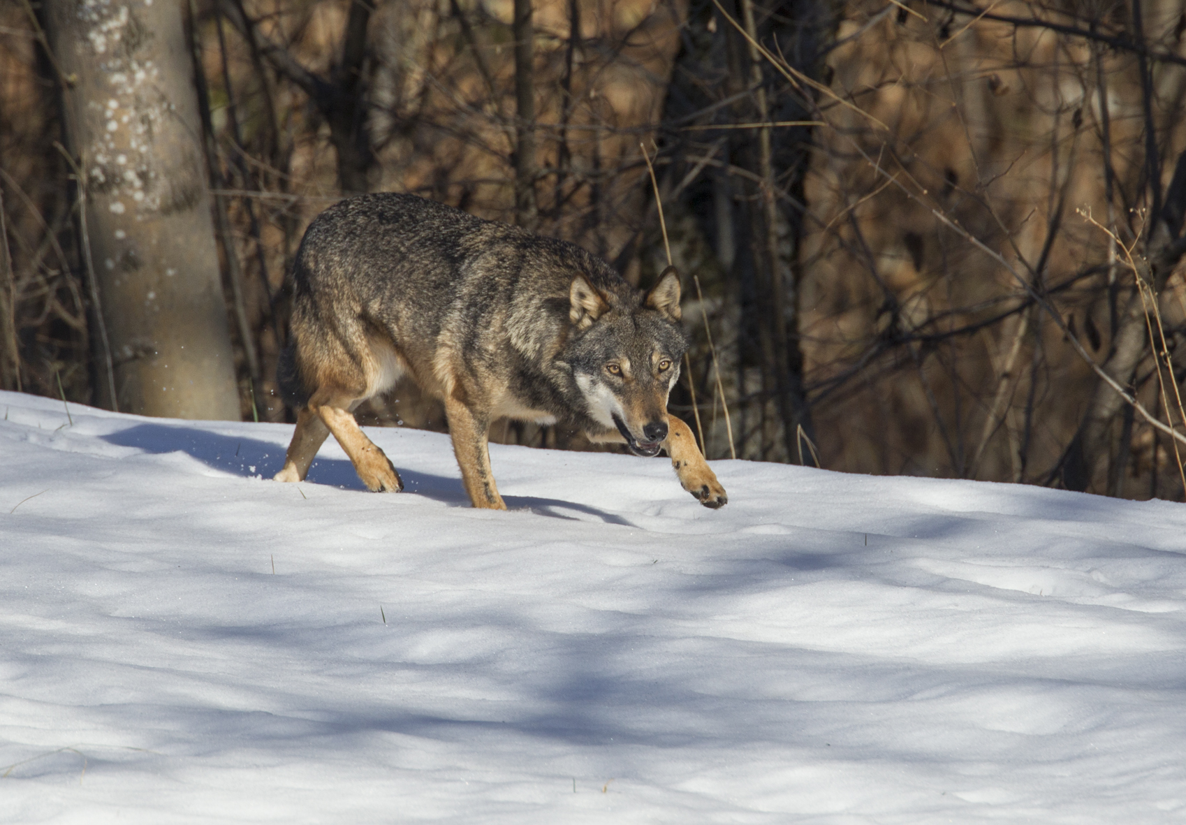 La Guida - Il lupo, ci si dimentica di chi ci convive