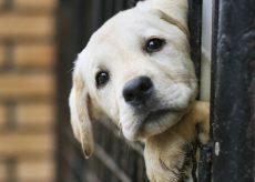 La Guida - I cani di Carrù trasferiti al Pinco Pallino di Fossano
