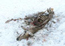 La Guida - Sette carcasse di cervi trovate in valle Stura