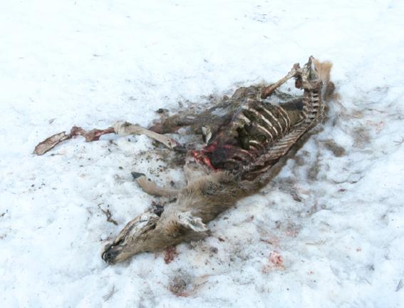Carcassa di cervo nella neve