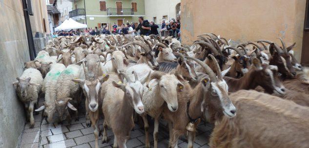 La Guida - Le pecore in mostra a Roaschia