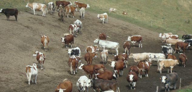 La Guida - Elicottero interviene in soccorso di due bovini