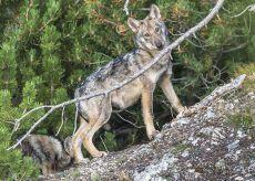 La Guida - Un terzo dei lupi delle Alpi vive in provincia di Cuneo