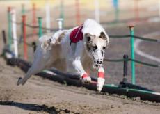 La Guida - Il secondo levriero più veloce al mondo vive a Cervasca