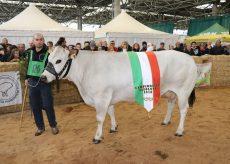 La Guida - Al Miac protagonisti i migliori capi della Piemontese