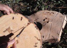 La Guida - Lotta al tarlo del legno, che cosa fare se si vedono larve o buchi