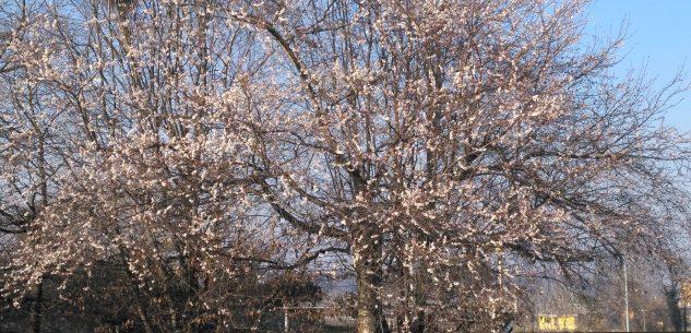 La Guida - Clima anomalo: un ciliegio con fiori invece dei fiocchi di neve