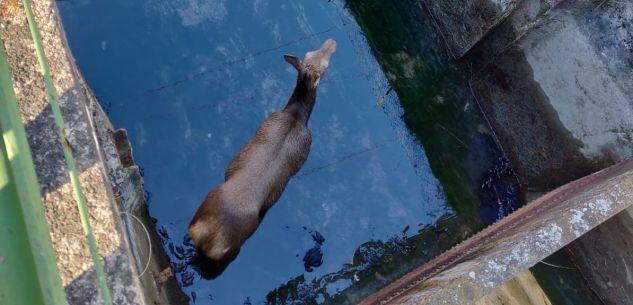 La Guida - Salvo il cervo finito nel canale della centrale