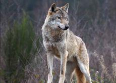 La Guida - I lupi ancora in azione ai piedi del Monviso