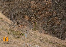 La Guida - Valle Stura, salvato e liberato il lupo avvelenato tre settimane fa