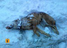 La Guida - Lupo trovato morto in alta valle Grana