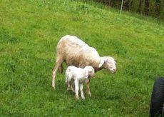"""La Guida - """"Siamo tutti pastori, dalla Sardegna a Coumboscuro"""""""