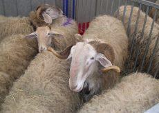 La Guida - Le pecore di razza roaschina monitorate con sensori