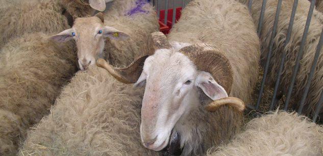 La Guida - Gli allevatori denunciano la morte di pecore da morsi