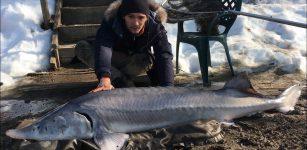 La Guida - Pesca grossa a Beinette, uno storione da 50 kg!