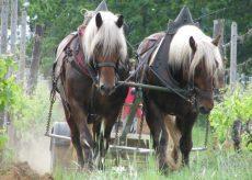 La Guida - La trazione animale nell'agricoltura moderna