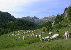 La Guida - Alpeggio a rischio per la neve, gli allevatori chiedono flessibilità