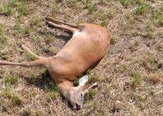 La Guida - Capriolo trovato morto in un prato di Frassino