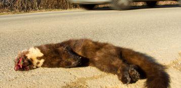 """La Guida - """"Monviso road-kill"""" per la fauna selvatica"""