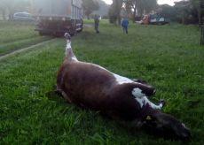 La Guida - Sei bovini caduti e morti in Bisalta