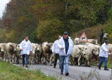 """La Guida - """"Caluma el vache"""", rimettere al centro l'agricoltura e la montagna"""