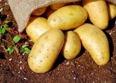 La Guida - Tanti appuntamenti a Prazzo per la Sagra della patata