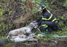 La Guida - Vigili del fuoco salvano vitellino rimasto intrappolato in un canale di scolo