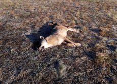 La Guida - Ritrovato un lupo morto sulla provinciale della valle Varaita