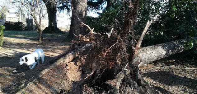 La Guida - Abete secolare abbattuto dal vento in Villa Oldofredi Tadini