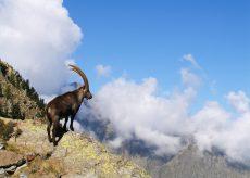 La Guida - Da cento anni lo stambecco è ritornato sulle Alpi Marittime