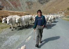 La Guida - Mucche, mascherine e magia: sì all'alpeggio per l'estate