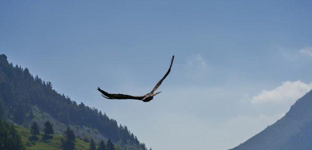 La Guida - Castelmagno, è tornata a volare libera l'aquila reale avvelenata curata dal Cras di Bernezzo