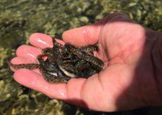 La Guida - Pesca, 250.000 trotelle fario nei corsi d'acqua della Granda