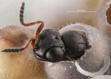 La Guida - Lotta alla cimice asiatica: in Piemonte effettuato il rilascio della vespa samurai