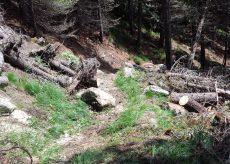 La Guida - Tagliati 45 pini cembri e alcuni larici nel bosco dell'Alevè