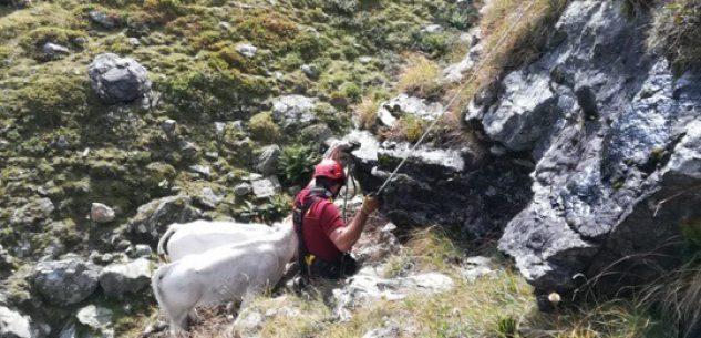 La Guida - Salvataggio di una mucca caduta in un dirupo a Crissolo