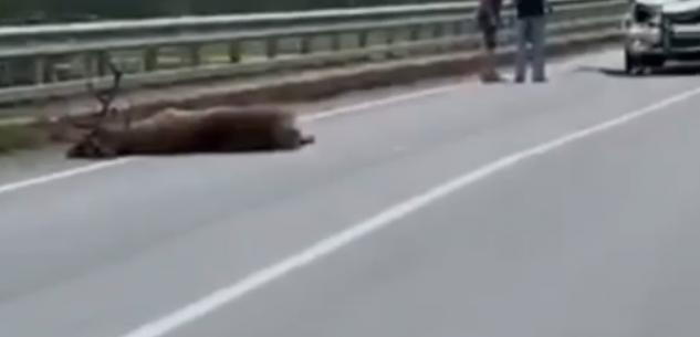 La Guida - Demonte, cervo investito e ucciso da un'auto (video)