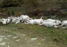 La Guida - 16 vacche morte in valle Grana scivolate sulla prima neve