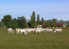 La Guida - Bovini da carne in forte crisi, le associazioni chiedono l'aiuto della Regione
