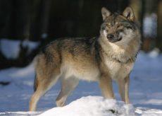 La Guida - Tutte le regioni dell'arco alpino a confronto sulla questione lupi