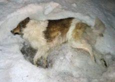 La Guida - Bellino, cane morto trovato vicino a casa. Avvelenato?