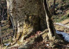 La Guida - Il grande faggio di Venasca candidato ad albero monumentale d'Italia