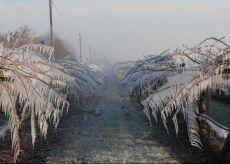 La Guida - Danni da gelo alle colture frutticole in alcune aree del Cuneese
