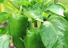 La Guida - Come fare l'orto, il peperone