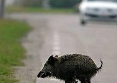 La Guida - Coldiretti Piemonte chiede misure contenitive per gli animali selvatici