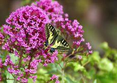 La Guida - Al Castello di Rocca de' Baldi cercasi volontari per monitorare le farfalle