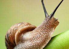 La Guida - Lumaca di Cherasco, sigillo della biodiversità cuneese